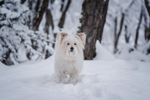 Chien blanc à poil long marchant sur la forêt de neige