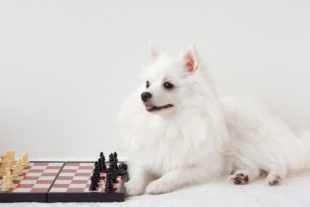 Le chien blanc de poméranie est assis à côté de l'échiquier, sur un fond blanc.