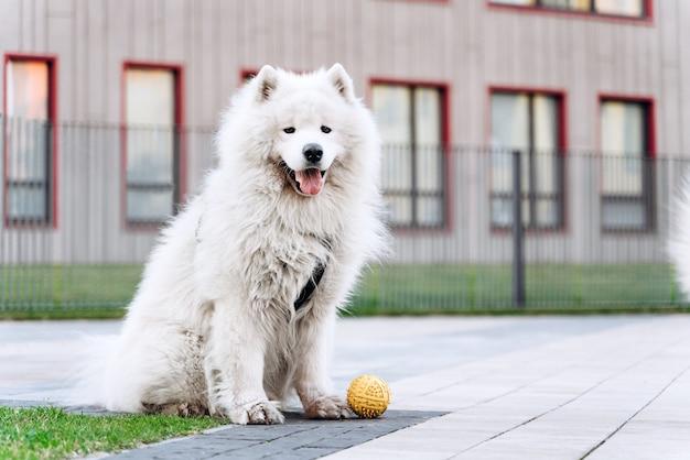 Le chien blanc de race est assis dans la rue avec une balle jaune