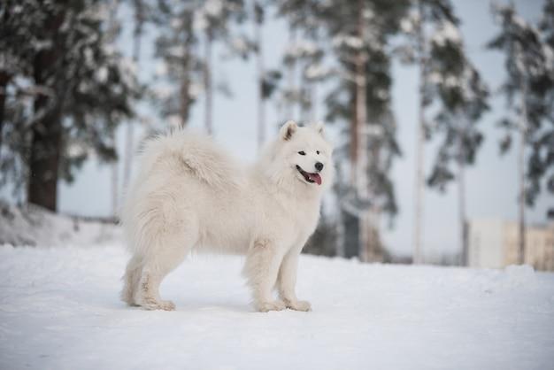 Chien blanc samoyède est sur fond de neige à l'extérieur
