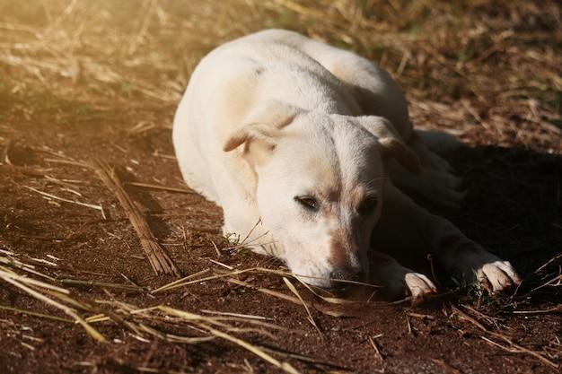 Chien blanc se détendre avec un beau coucher de soleil dans les champs d'herbe