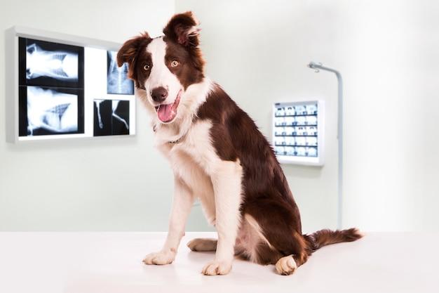 Chien border collie dans une clinique vétérinaire