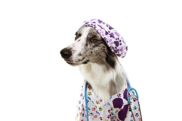 Chien border collie habillé en vétérinaire portant un stéthoscope, une casquette et une robe d'hôpital.
