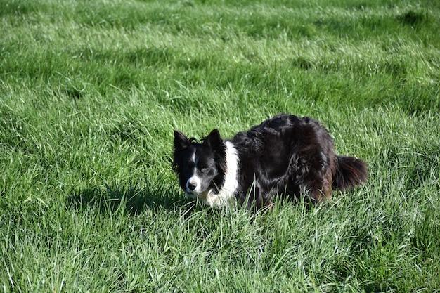 Chien border collie hyper concentré au repos dans une longue herbe verte.