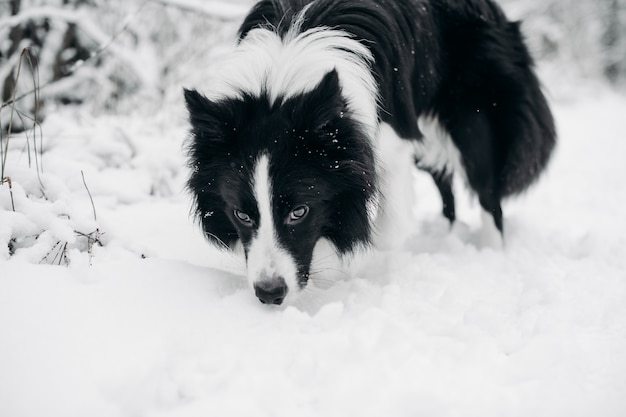 Chien border collie noir et blanc dans la forêt enneigée