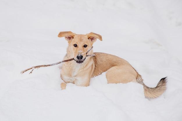 Chien brun clair jouant avec un bâton sur la neige dans une forêt