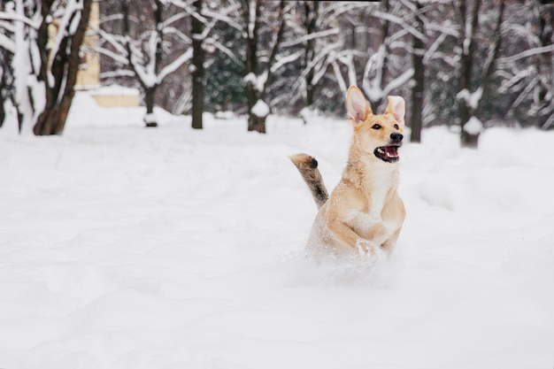Chien brun clair qui court sur la neige dans une forêt. chien espiègle