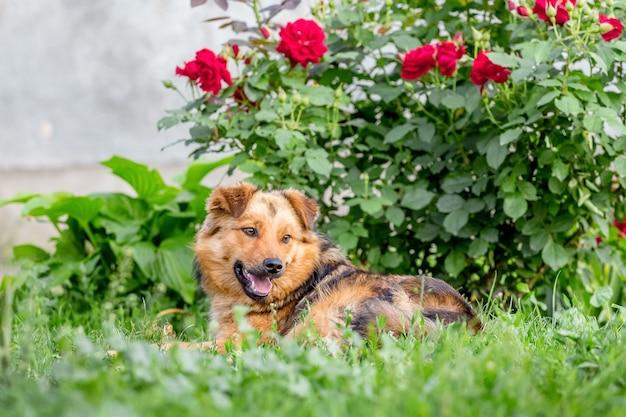 Chien brun couché dans le jardin sur l'herbe près d'un buisson de roses rouges