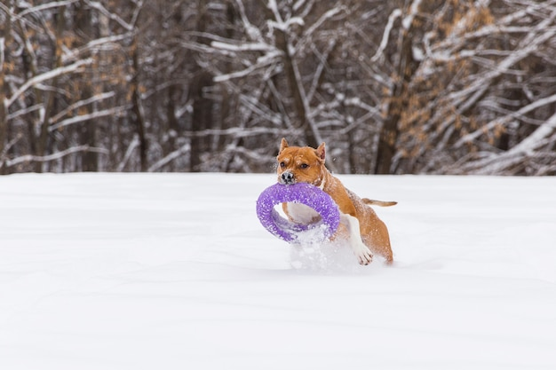 Chien brun jouant avec des jouets ronds dans la neige dans une forêt. staffordshire terrier. chien courant