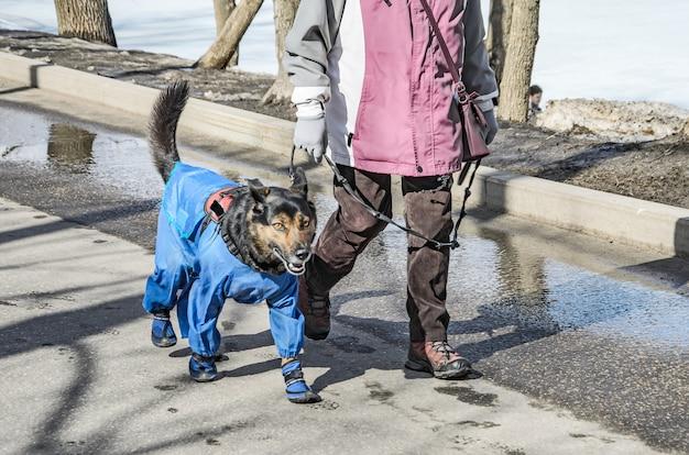 Chien brun pour une promenade dans le parc, vêtu d'une salopette bleue et de bottes.