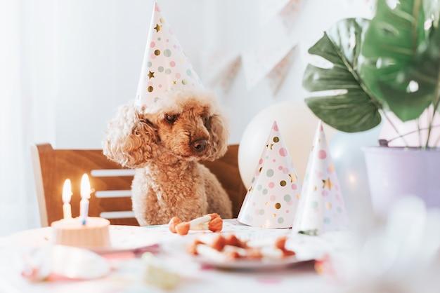Le chien caniche abricot fête son anniversaire avec un gâteau, des os et des bougies