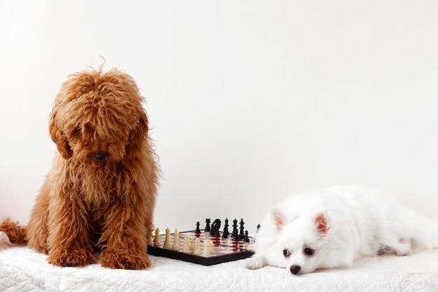 Chien caniche miniature brun rouge et un poméranien blanc s'asseoir à côté d'un échiquier, sur un fond blanc.