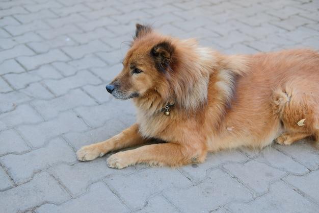 Chien canin brun au repos assis en plein air