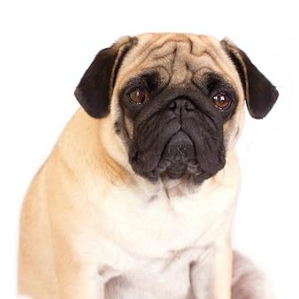 Un chien carlin assis a l'air triste. isolé.