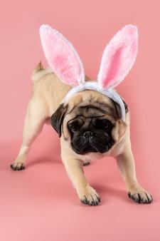 Chien carlin drôle portant des oreilles de lapin de pâques sur fond rose.