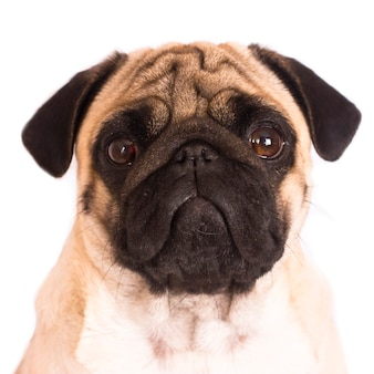 Le chien carlin est assis et regarde directement dans la caméra. grands yeux tristes.