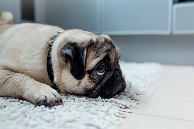 Le chien carlin a été puni et laissé seul