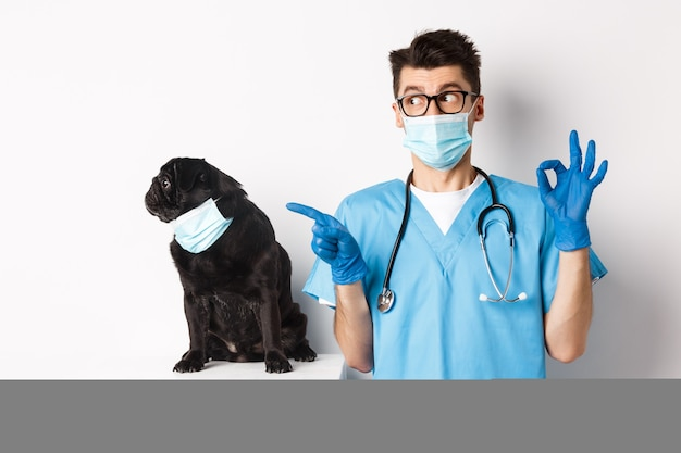 Chien carlin noir drôle portant un masque médical, assis près de beau médecin vétérinaire montrant le signe correct