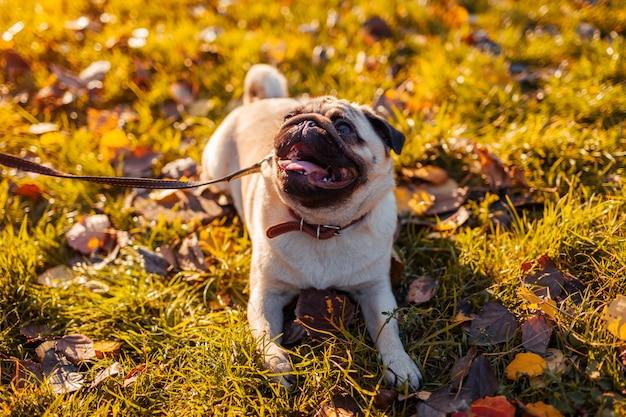 Chien de carlin à pied dans un parc en automne