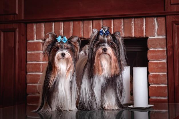 Un chien castor est assis près de la cheminée. les bougies blanches brûlent le concept de l'amour, des relations, de la famille et des personnes de chien.