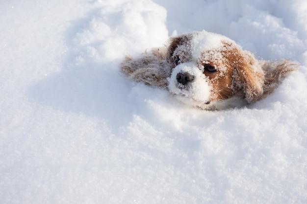 Chien cavalier king charles spaniel couvert de neige se déplaçant en hiver sur champ couvert de neige.
