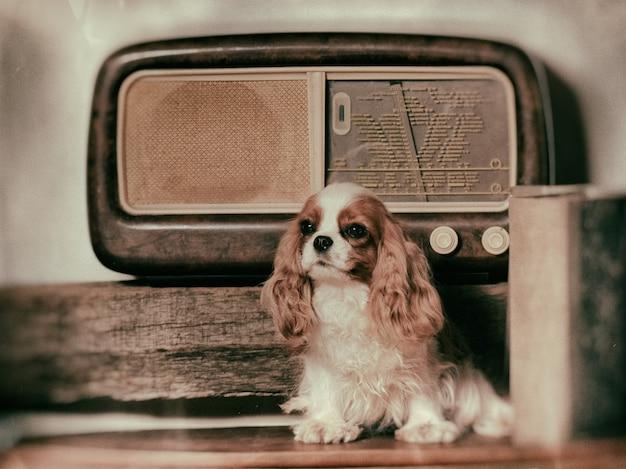 Chien cavalier king près d'une ancienne radio.