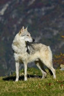Chien chien de loup tchécoslovaque