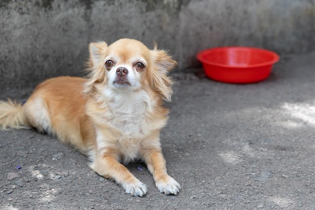 Un chien chihuahua affamé et malheureux se trouve près d'une assiette vide. regarde la caméra.