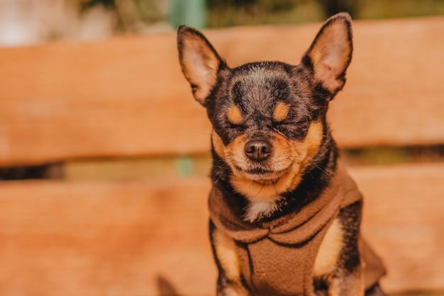 Chien chihuahua sur un banc en bois brun dans des vêtements bruns. l'animal se dore au soleil. chien dans un pull