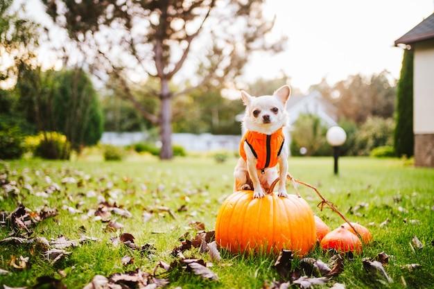 Un chien chihuahua blanc dans un gilet orange est assis sur la citrouille. photo de haute qualité