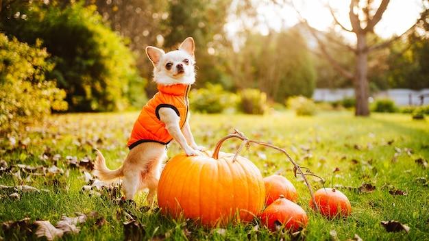 Un chien chihuahua blanc dans un gilet orange est assis sur l'herbe près d'une citrouille