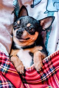Chien chihuahua drôle dormant sur un oreiller au lit. chihuahua dort sous une couverture sur un oreiller.