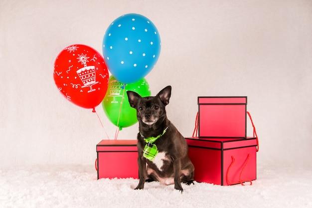 Chien chihuahua noir dans une cravate avec des ballons et des cadeaux om fond clair