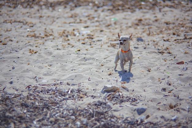 Chien chihuahua à la plage pendant des vacances