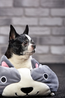 Chien chihuahua à poil court posant à l'intérieur dans un gros jouet sur un fond de briques blanches