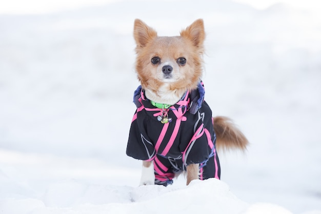 Chien chihuahua posant dans la neige