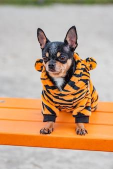 Chien chihuahua. promenade de chien vêtements chauds pour chiens. chien chihuahua en vêtements sur un banc