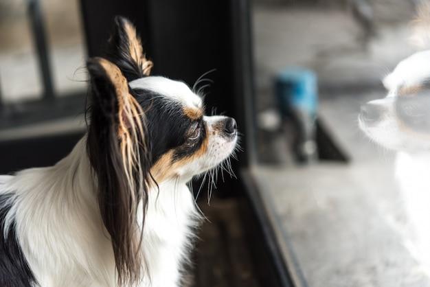Chien chihuahua race regardant quelque chose