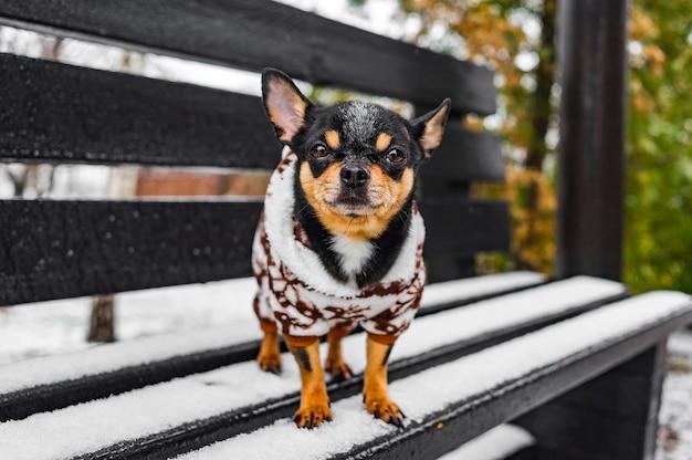 Chien chihuahua en vêtements d'hiver. chien chihuahua en salopette d'hiver pour chiens.