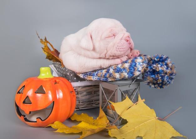 Chien chiot drôle de bouledogue américain dort avec petite citrouille orange