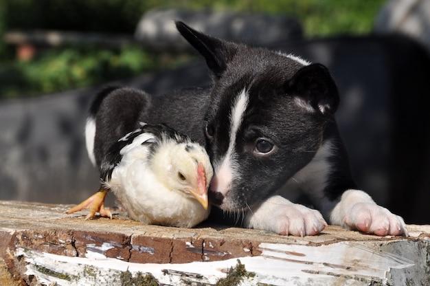 Chien chiot avec un petit poulet, pâques