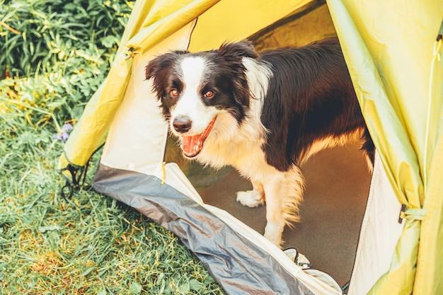 Chien chiot en plein air border collie assis à l'intérieur dans une tente de camping
