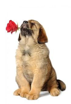 Chien chiot avec rose rouge levant isolé
