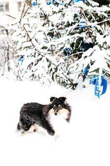 Chien chiot sheltie se promène à l'extérieur en hiver, neige blanche et rochers, lumière du soleil, communication avec un animal de compagnie