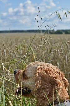 Chien cocker spaniel se promène dans le champ de blé
