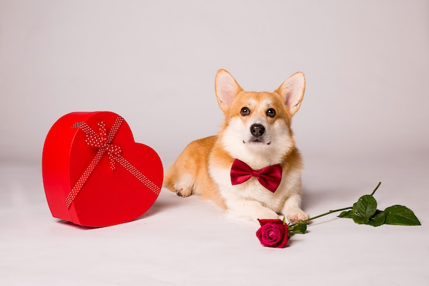 Chien corgi avec une boîte cadeau en forme de coeur rouge et une rose rouge sur un mur blanc
