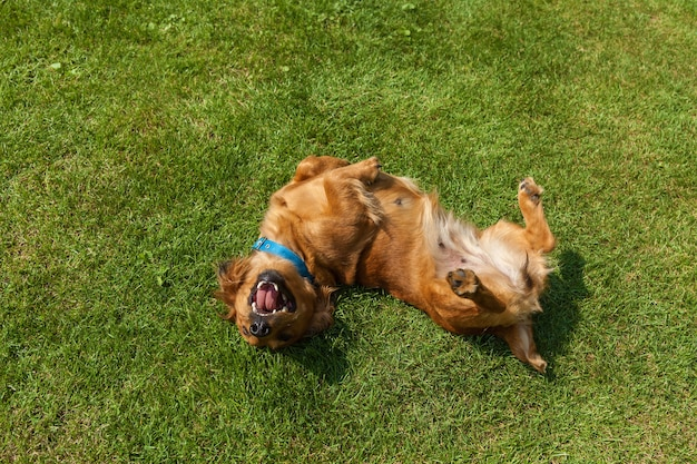Chien couché sur le dos sur l'herbe verte, épagneul mixte chiens épagneul