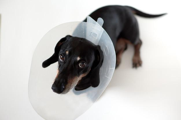 Chien couché malade avec un collier élisabéthain en plastique vétérinaire sur le cou. un teckel vétérinaire