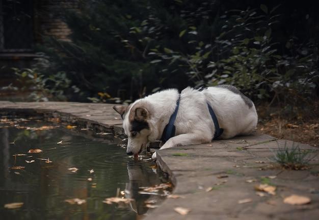 Un chien de couleur blanche dans une schleia qui promène des chiens boit de l'eau dans une fontaine ou un étang sur fond de feuilles jaunes qui tombent.