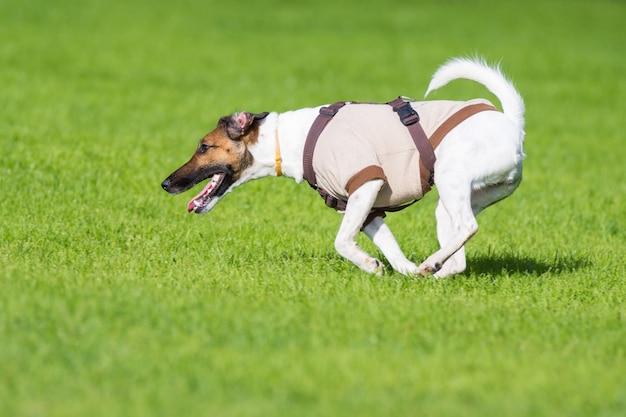 Chien courant sur l'herbe